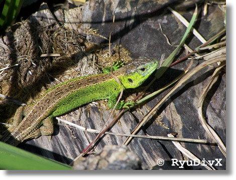 http://ryudivx.free.fr/photos/faune/lacerta_agilis_00.jpg