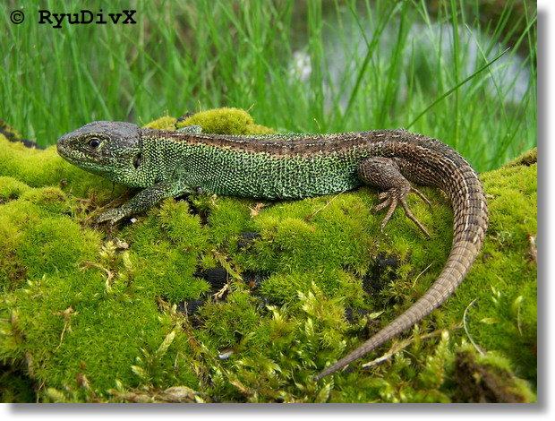 http://ryudivx.free.fr/photos/faune/lacerta_agilis_09.jpg